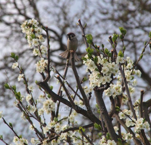Vrabčák na třešni