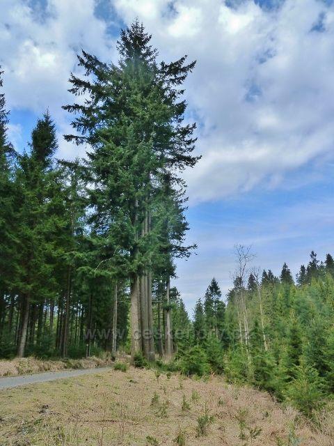 Horní Orlice - skupina douglasek u lesní silničky v sedle pod Jeřábkem