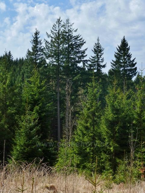 Horní Orlice - skupina vzrostlých douglasek u lesní silničky pod Jeřábkem