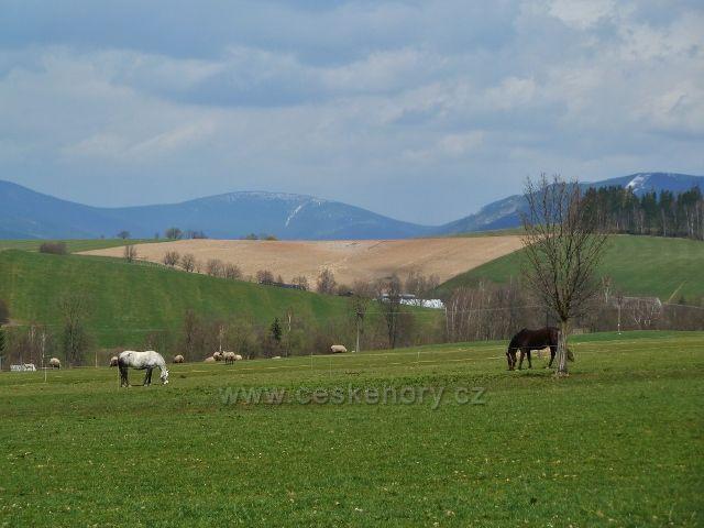 Králíky - pastvina na úpatí Mariánského vrchu -v pozadí zasněžený vrchol Kralického Sněžníku