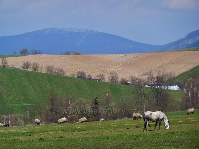 Králíky - pastvina na úpatí Mariánského vrchu- v pozadí zasněžený vrchol Kralického Sněžníku