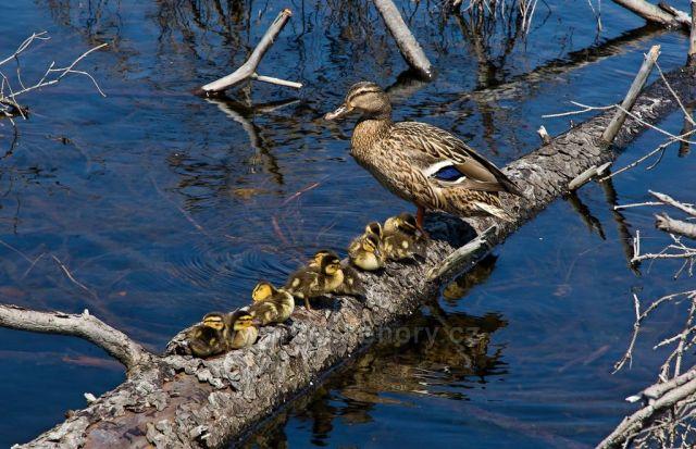 Kachny na Prášilském jezeře