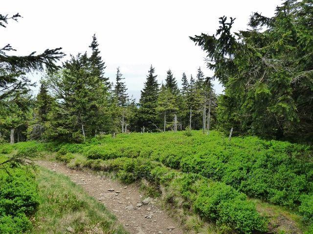 Ramzová - společný úsek stezky na Šerák vede řídkým lesem s bohatým borůvkovým podrostem