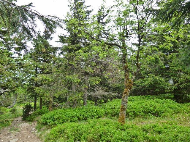Ramzová - bohatý borůvkový podrost na posledním úseku stezky na Šerák