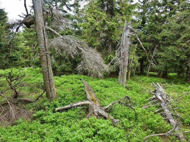 Ramzová - bohatý borůvkový podrost kolem posledního úseku stezky na Šerák