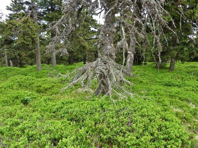 Ramzová - borůvčí pod vrcholem Šeráku