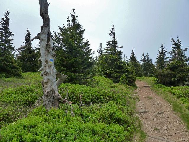 Ramzová - bohatý podrost borůvky kolem posledního úseku stezky na Šerák