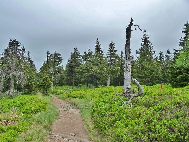 Ramzová - poslední,již společný úsek stezky na Šerák vede řídkým lesem s bohatým borůvkovým podrostem