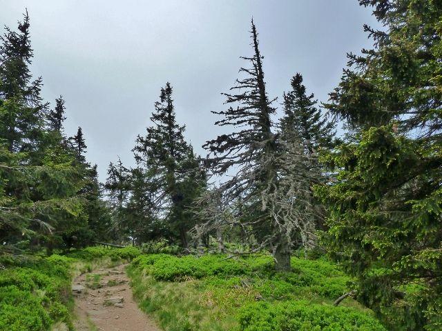Ramzová - poslední úsek společné stezky na Šerák je obklopen borůvčím
