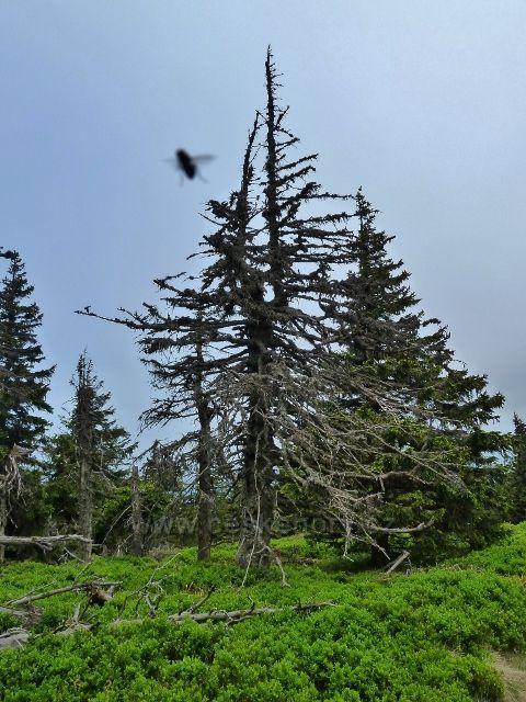 Ramzová - podrost borůvky kolem posledního úseku stezky na Šerák