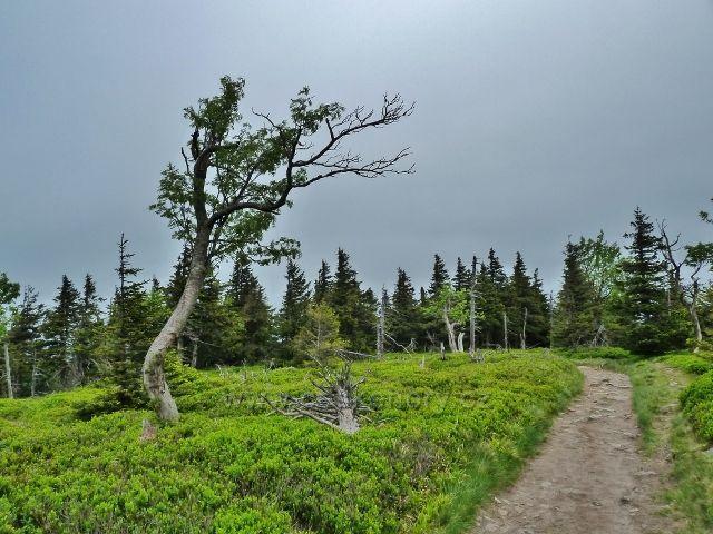 Ramzová - borůvkový podrost kolem posledního úseku stezky na Šerák