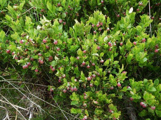 Kvetoucí borůvky na Šeráku slibují dobrou úrodu