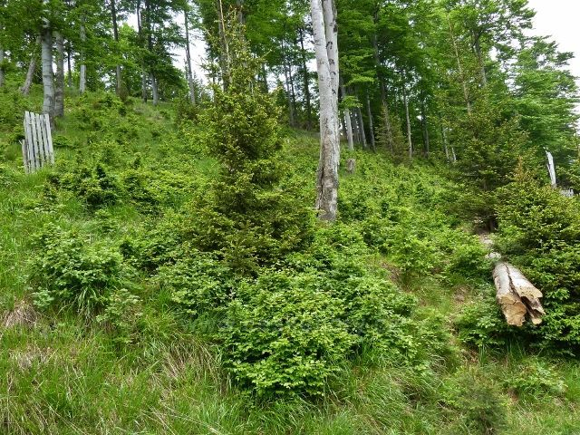 Lesní porost nad cyklostezkou před Šumárníkem