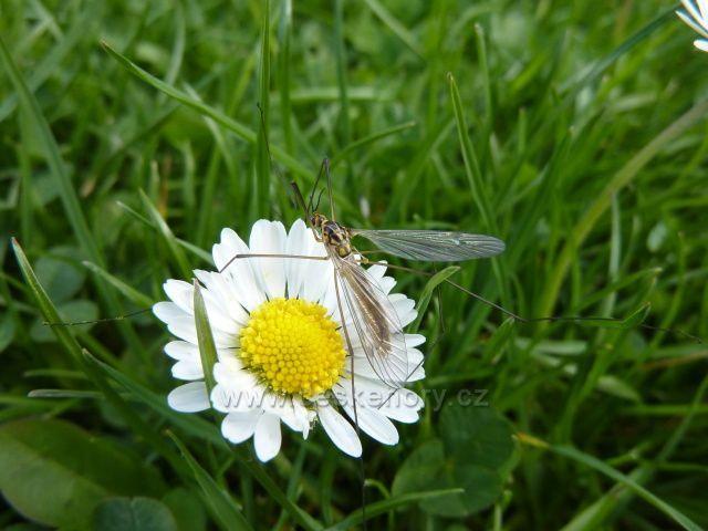 Hmyz na sedmikrásce