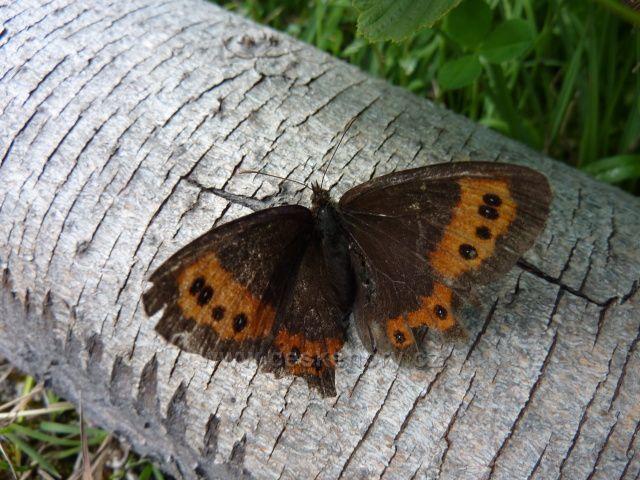 Motýl Emanuel