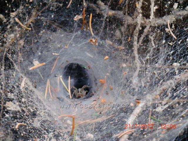 zvědavý pavouk