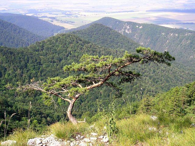 Slovensky bonsaj