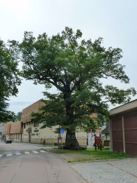 Jablonné nad Orlicí - památný dub