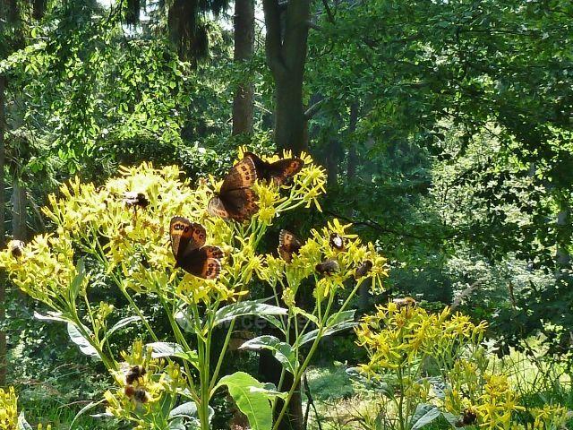 Buková hora - motýli okáči na starčeku u cesty pod vrcholem