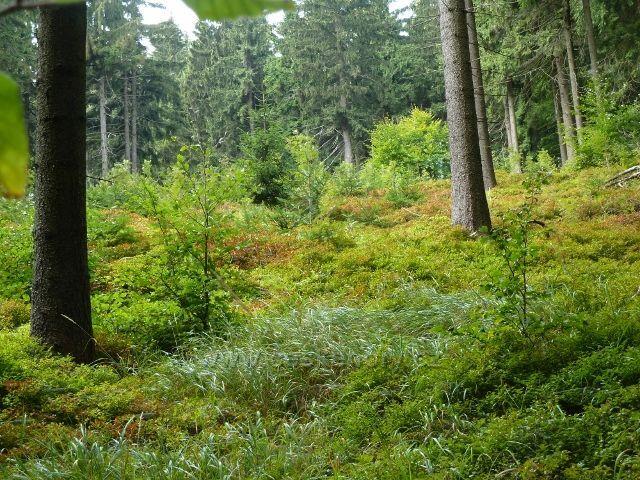 Buková hora - podrost borůvky v lesním porostu u cyklostezky 4071 do Mlýnického Dvora