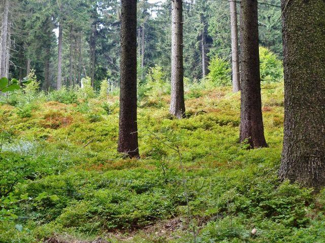 Buková hora - podrost borůvky v lesním porostu u cyklostezky 4071 nad Mlýnickým Dvorem