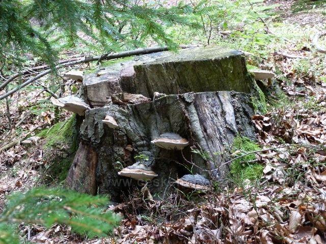 Sobkovice - plodnice troudnatce pásovaného na pařezu u cesty do Jablonného nad Orlicí