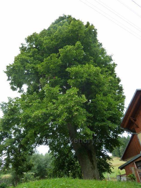 Ostružná - chráněná lípa cca 350 let stará v horní části obce U Vleku