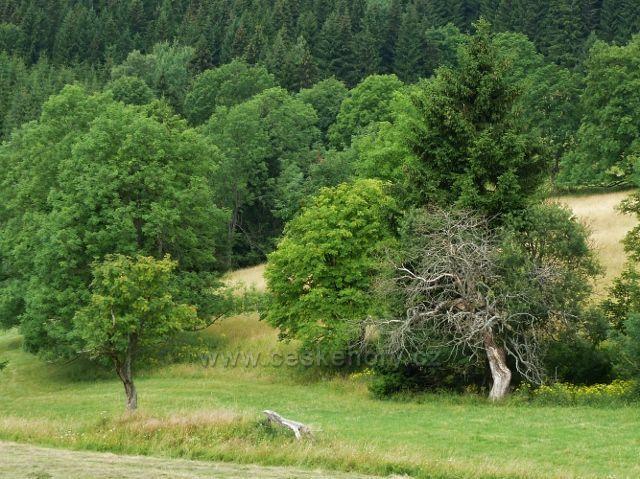 Ostružná - suchý strom v sedle Pod Stráží