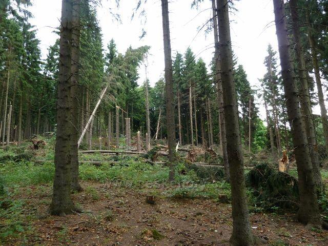 """Ostružná - větrný polom po vichřici 8.července 2015 v lesním porostu """"U Líp"""""""