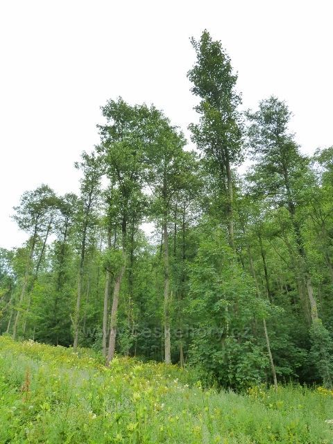 Kronfelzov - porost mezi Brusným potokem a silničkou do Branné
