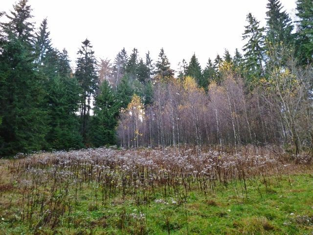 Dolní Morava - porost starčeku v podzimní podobě na úpatí Klepáče