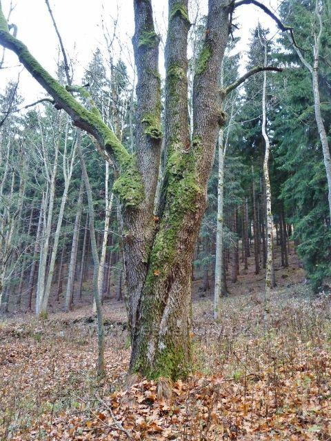 Dolní Morava - letitý javorový kmen u cyklostezky 6229 na úpatí Klepáče