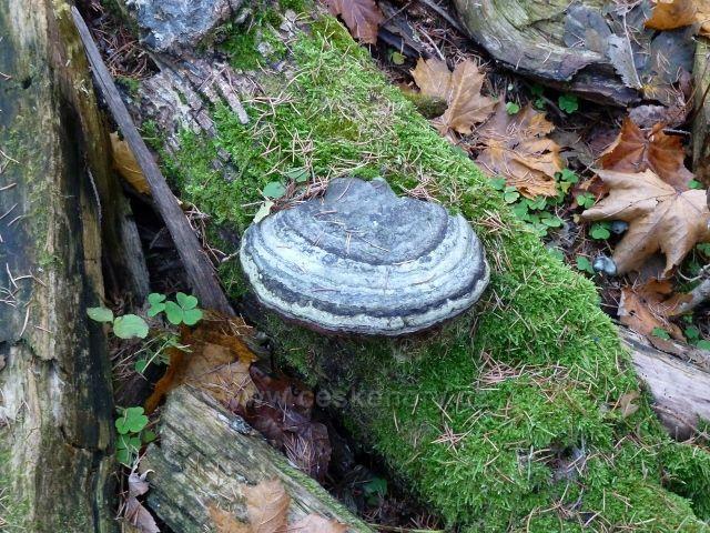 Dolní Morava - troudnatec pásovaný na tlejícím kmeni  na úpatí Klepáče