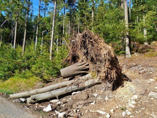Dolní Morava - pozůstatek červencové vichřice u vrstevnicové cesty po žluté TZ ke Zbojnické chatě