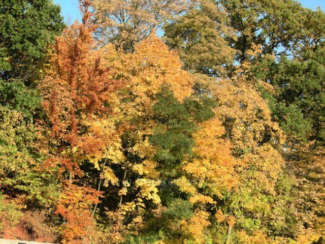 podzimní barvy stromů II