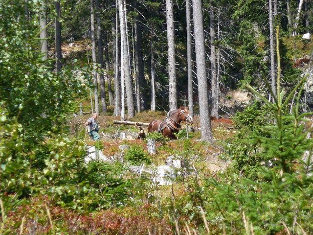 Dolní Morava - přibližování dřeva koněm v členitém terénu pod vrcholem Klepáče