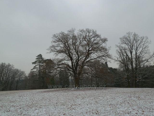 Žamberk - zámecký park, dub zimní v zimě