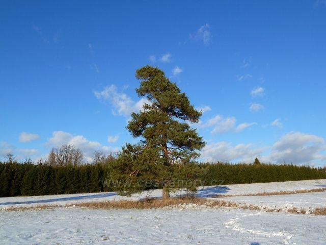 Žamberk - zámecký park, borovice u cesty k hájovně