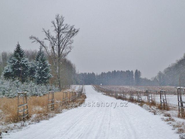 Žamberk -park, nová javorová  alej v zimě