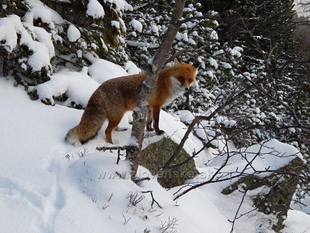 teritorium lišky Bystroušky cesta na Zamkovského chatu