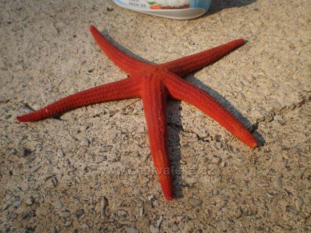 Morská hviezdica - na Lastove ich je veľa