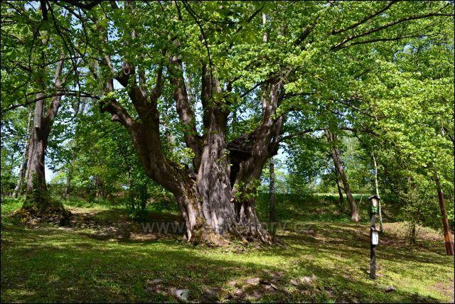 Památný strom - lípa,, Hadí královna v Horní Moravici, vyhlášen v r, 1997.