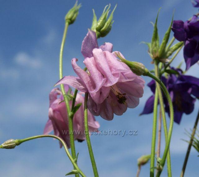 Podhorská květena v podhůří Železných hor