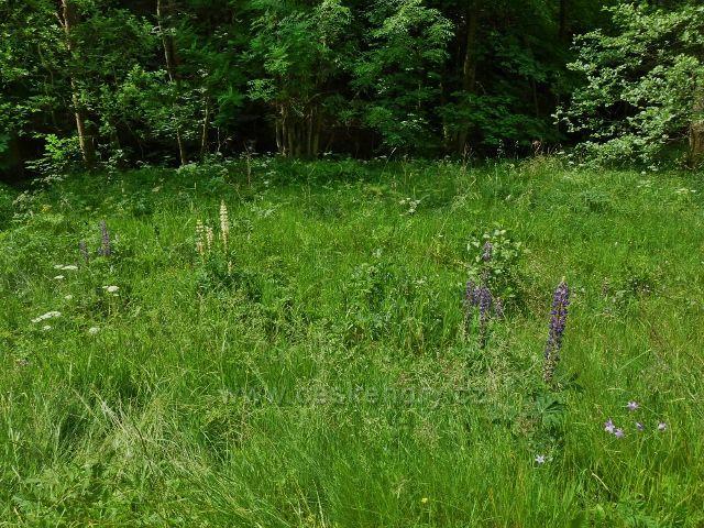 Hamernice - lupina u břehu Říčky