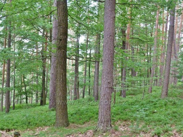 Kokořínsko - cestu po modré TZ k Pokličkám lemuje převážně borový les s podrostem borůvky