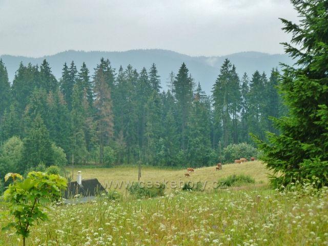 Pastva skotu na Grúňi