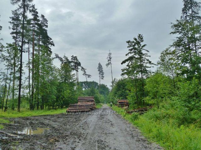 Kozinec - cesta po modré TZ Borkem k Malému Kozinci je lemována vytěženým kalamitním dřevem