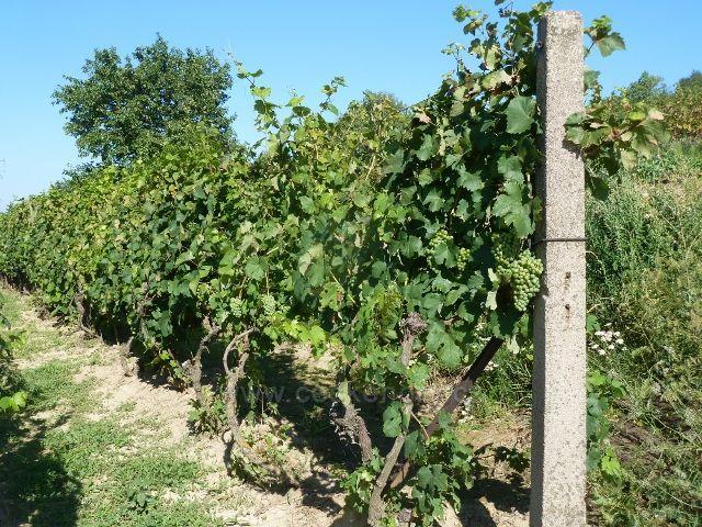 Hustopeče - cesta vinicemi k Mandloňové rozhledně