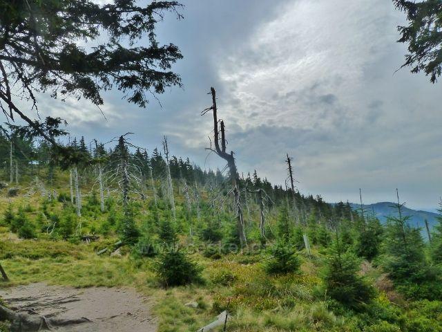 Králický Sněžník - pohled ze sedla Stříbrnická na svah stejnojmenného vrchu