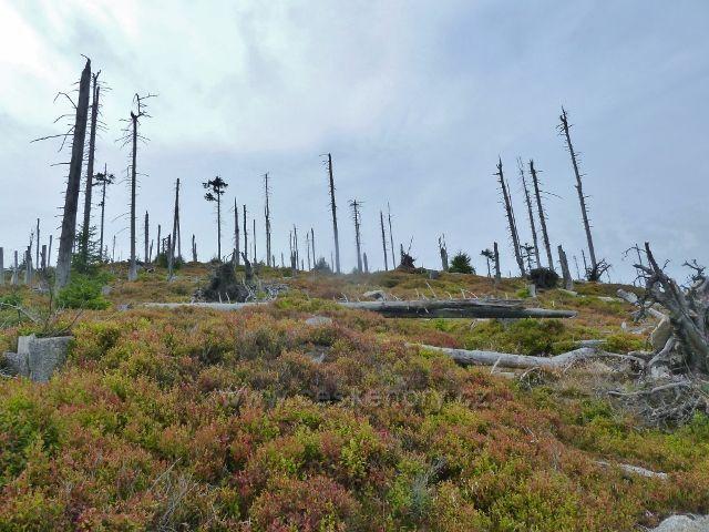 Králický Sněžník - mrtvý les na Stříbrnické